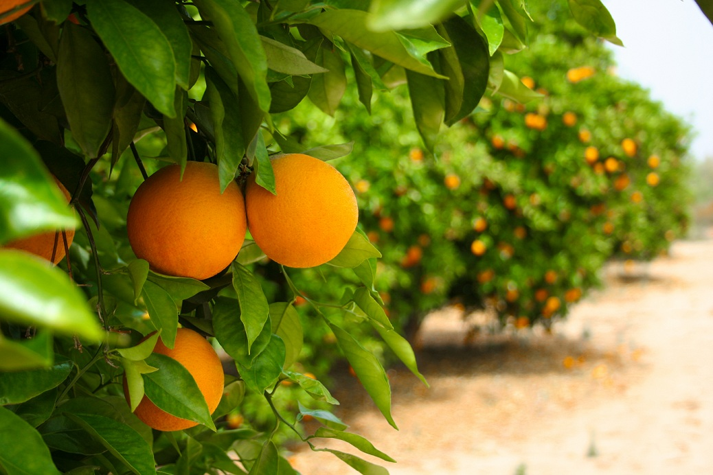 oranges hanging in an orange grove