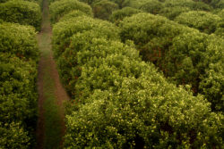 florida citrus groves