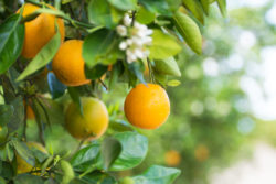 florida oranges hanging from an orange tree in florida